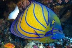 Angelfish, Large
