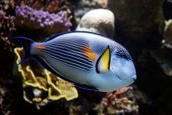 Tangs & Surgeonfish