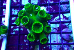 TUBASTREA FOREST GREEN