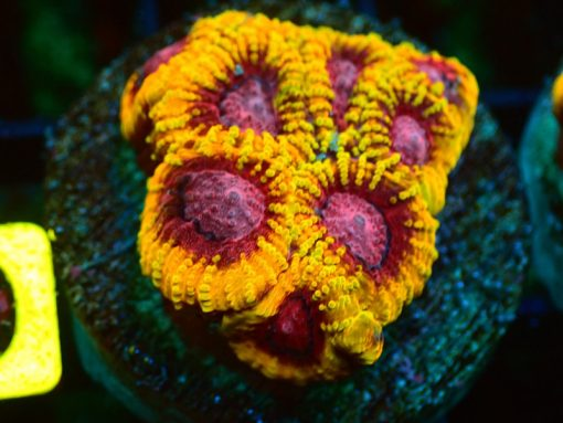 ACAN LORD PLATE